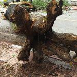 พายุพัดต้นหางนกยุงอายุกว่า 20 ปีโค่นหลังฝนตกหนักต้องปิดการจราจร