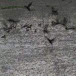 นกเป็ดน้ำนับพันสร้างสีสันในหนองน้ำม่วงตึ๊ดแหล่งท่องเที่ยวแห่งใหม่ของ อพท.เพื่อสร้างรายได้ให้ชุมชน